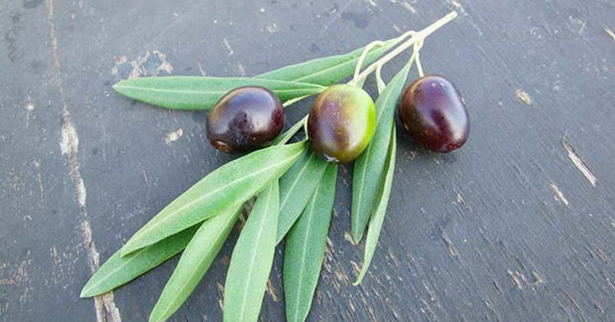 10 bienfaits des feuilles dolivier sur votre sante11