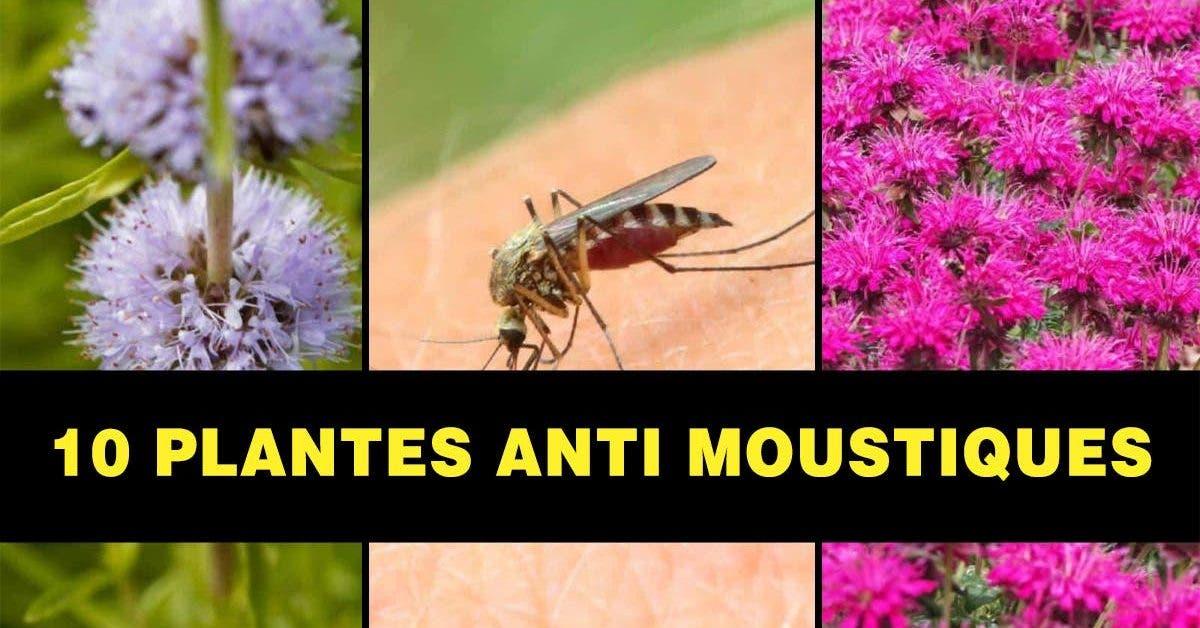 10-plantes-anti-moustiques