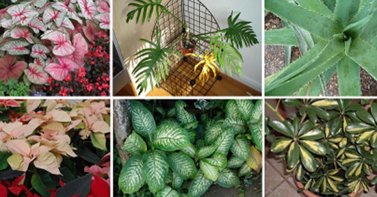 10 plantes mortelles que vous devez enlever de votre maison immediatement 1