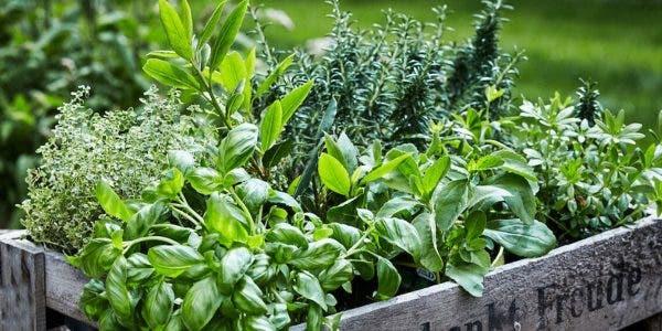 5-plantes-pour-traiter-la-toux-les-infections-pulmonaires-et-la-bronchite-naturellement