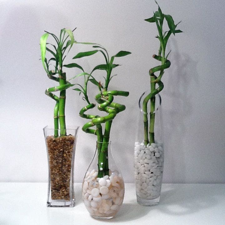 bambou de la chance