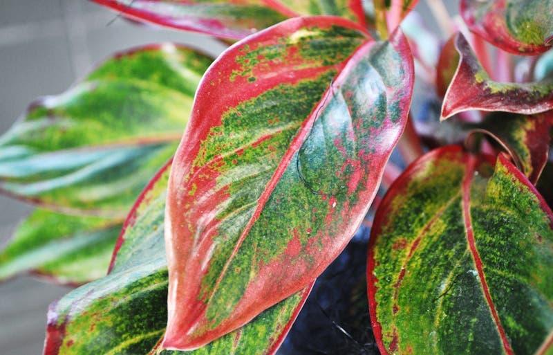 Aglaonema Chinese Evergreen 2 1