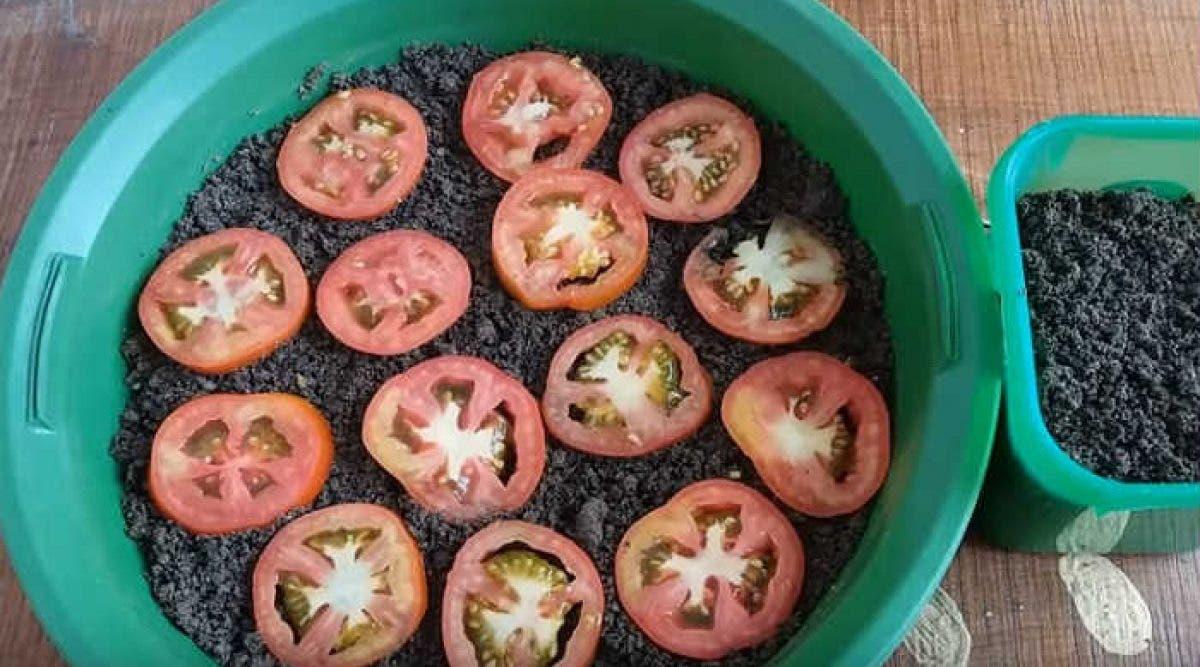 Apprenez à cultiver des tomates à la maison pour ne plus jamais en acheter