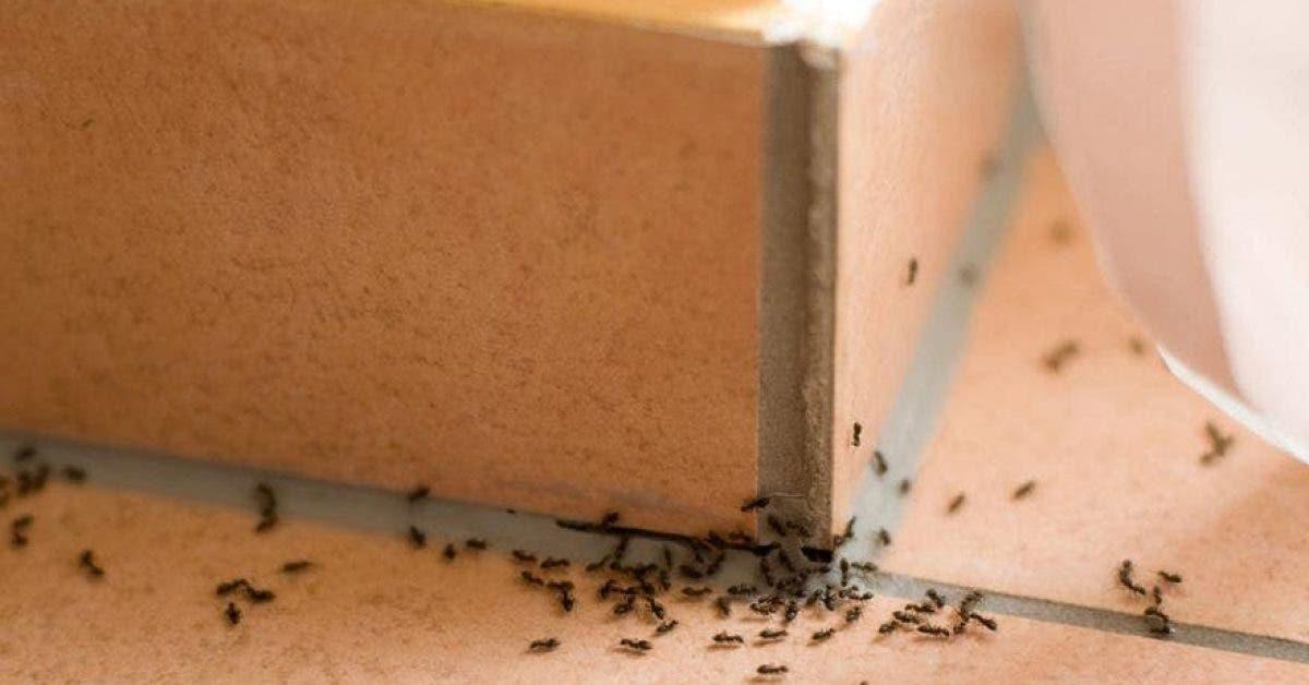Apprenez à éliminer les fourmis de la maison avec 3 astuces