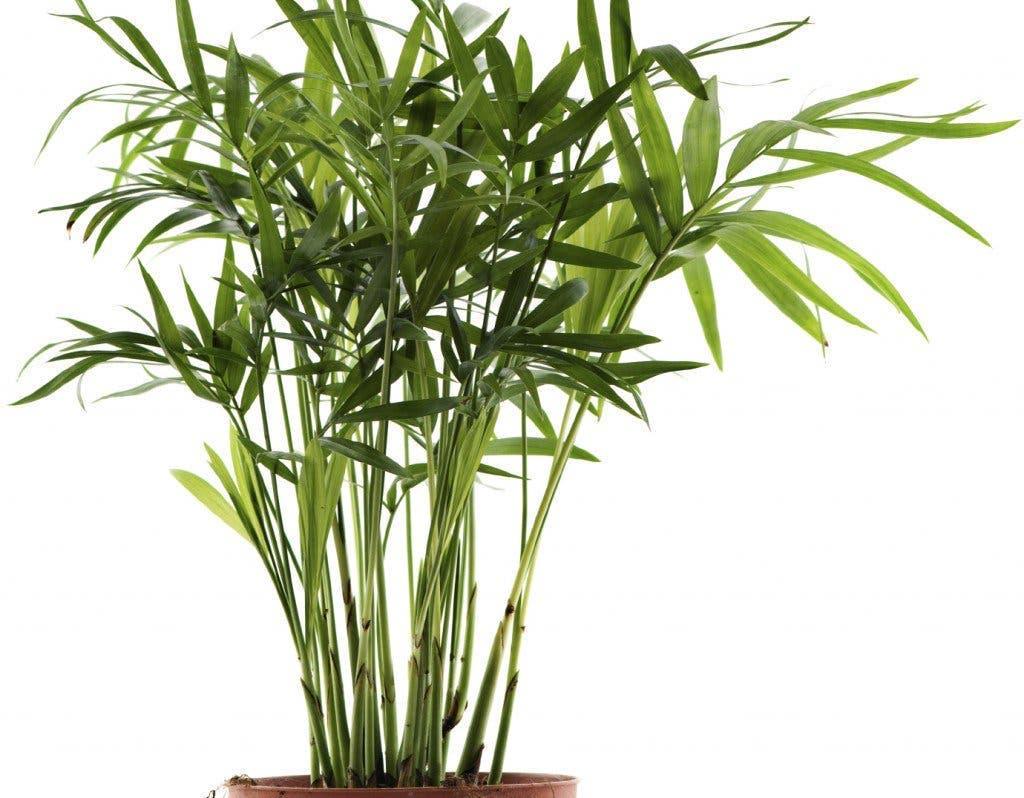 Bamboo Palm 1024x798 2