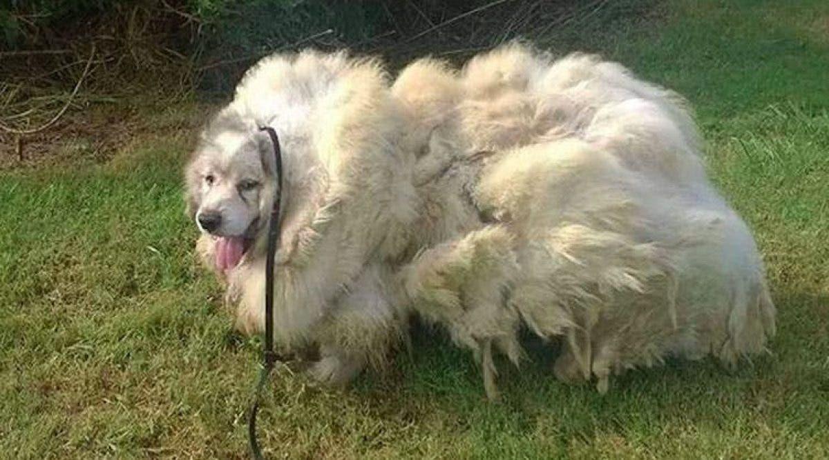 Ce chien était prisonnier et son manteau pesait 15 kg – regardez son incroyable transformation