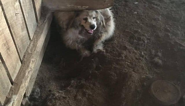 Ce chien était prisonnier et son manteau pesait 15 kg