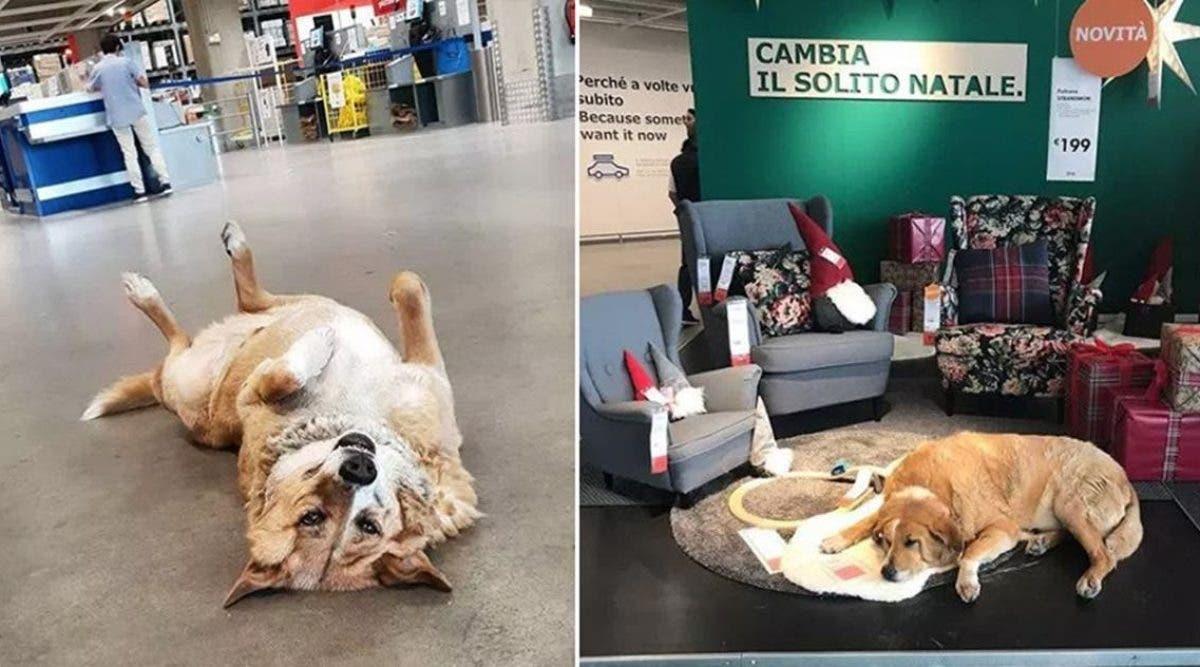 Ce magasin IKEA laisse entrer les chiens errants dormir la nuit