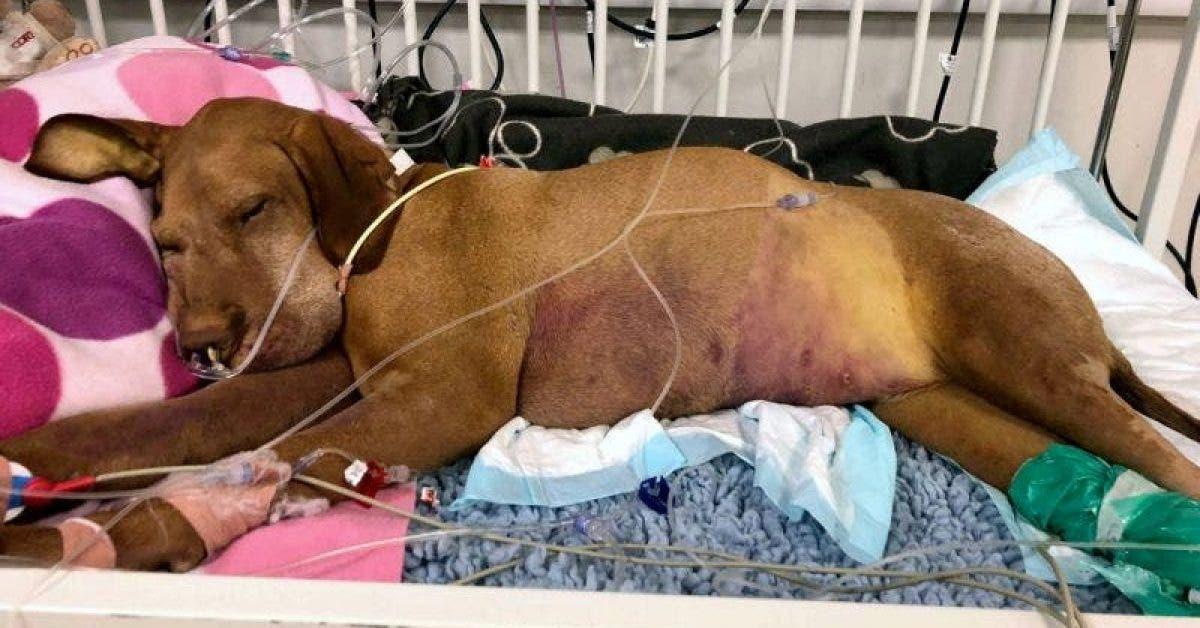 petit chien meurt pour avoir mangé un brownie contenant un édulcorant