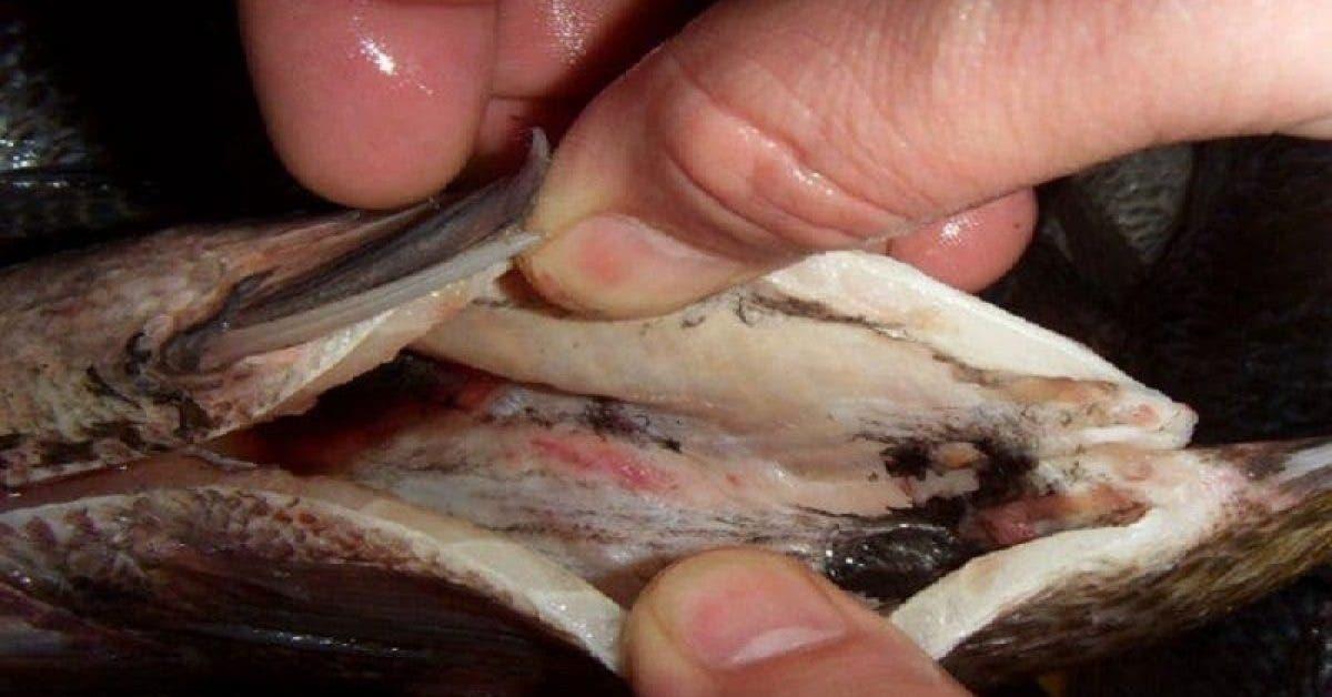 Ce poisson populaire au supermarché est dangereux à la consommation humaine. Vous êtes prévenus !