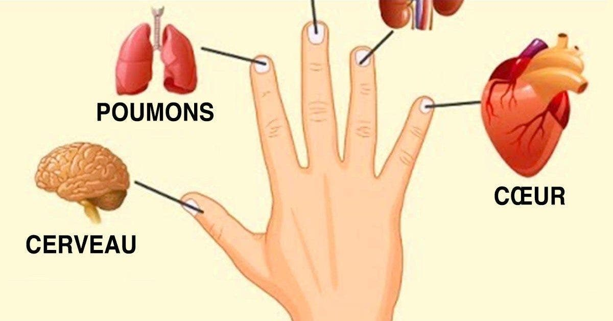 Chaque doigt est connecté à un organe