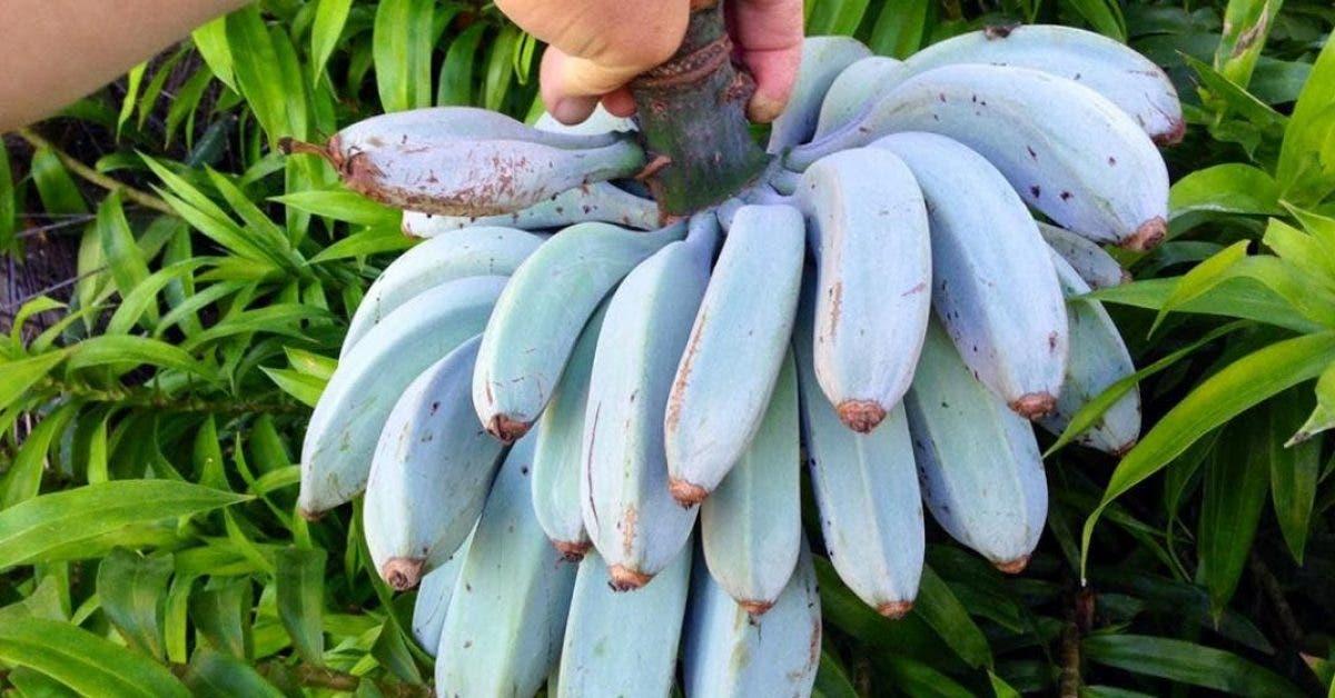 Ces bananes bleues ont le même goût que la glace à la vanille
