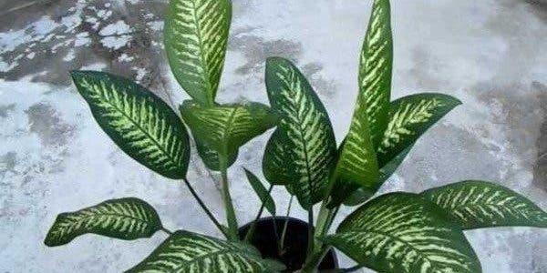 Cette plante populaire a intoxiqué un petit enfant de 5 ans