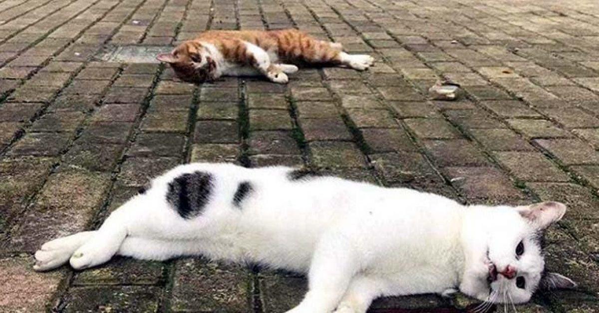 Des chats et des chiens coronavirus