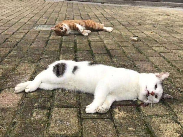 Des chats et des chiens corona