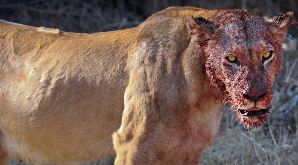 Des lions ont mangé trois braconniers de rhinocéros dans une réserve sud-africaine