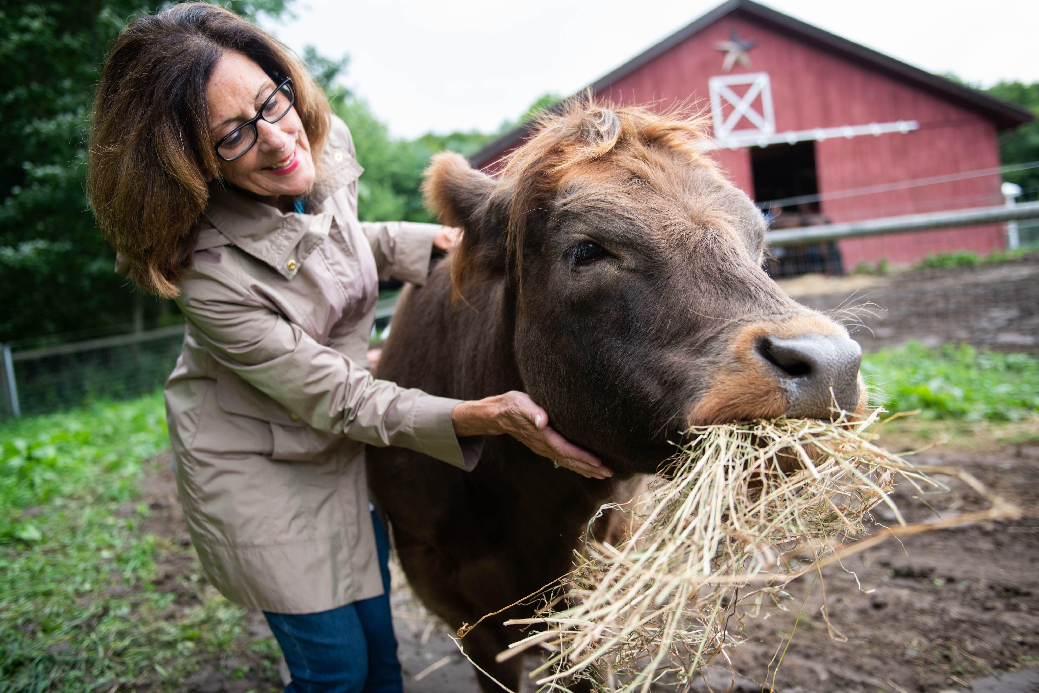 câlins à une vache