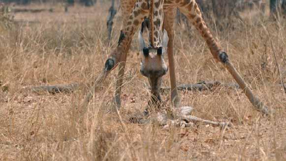 Giraffe-deuil