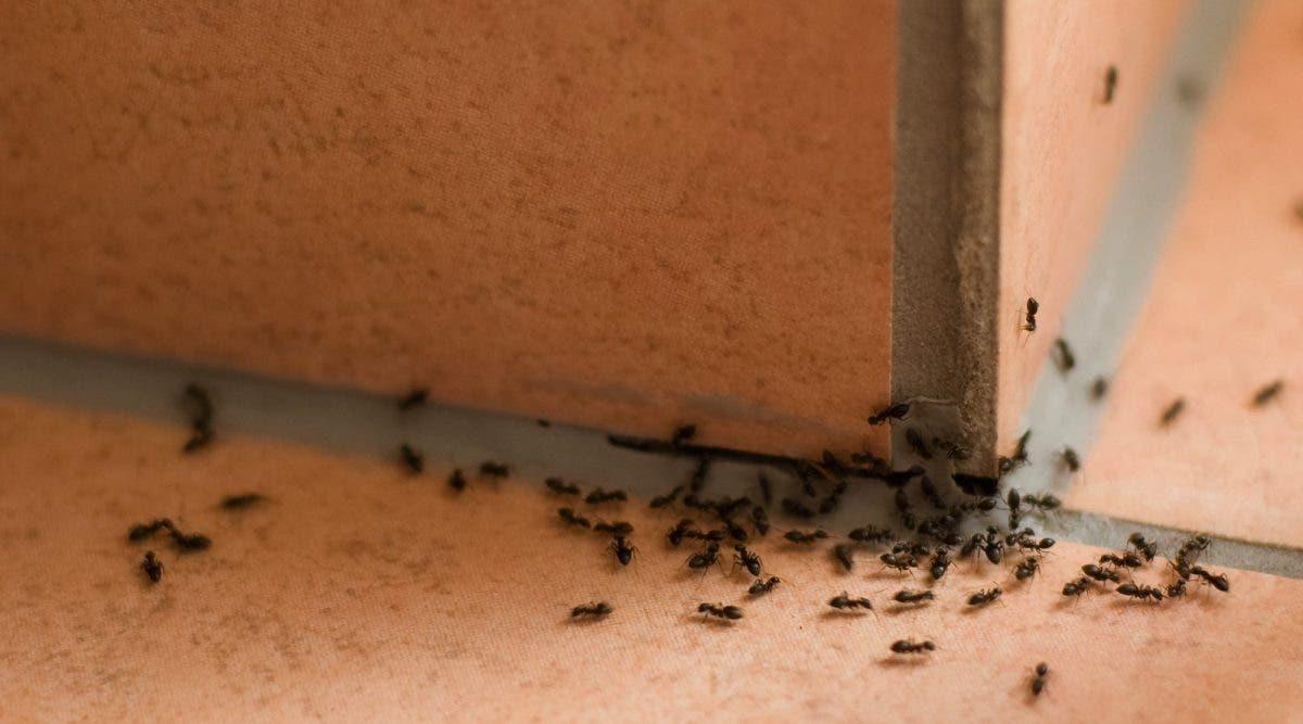 Astuces Naturelles Pour Se Débarrasser Des Fourmis une astuce naturelle pour se débarrasser des fourmis à la maison