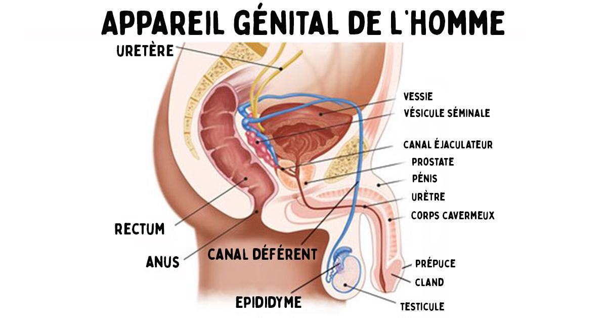 Huit secrets à savoir sur le pénis