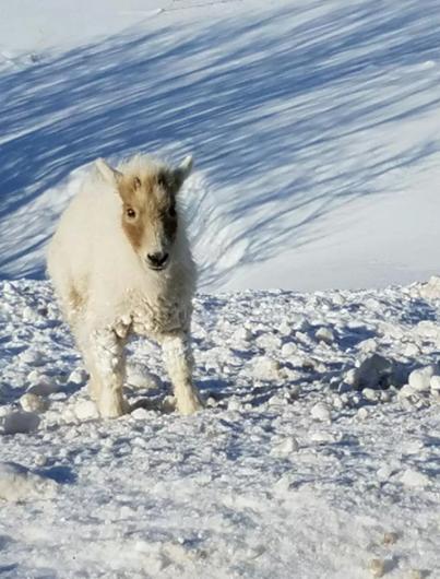 Ils voient une chèvre sur le bas-côté de la route sous une neige glaciale