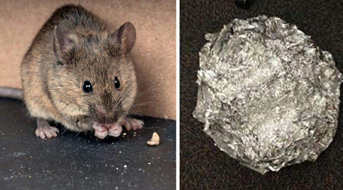 La bonne astuce au bicarbonate de soude pour empêcher les souris et les rats
