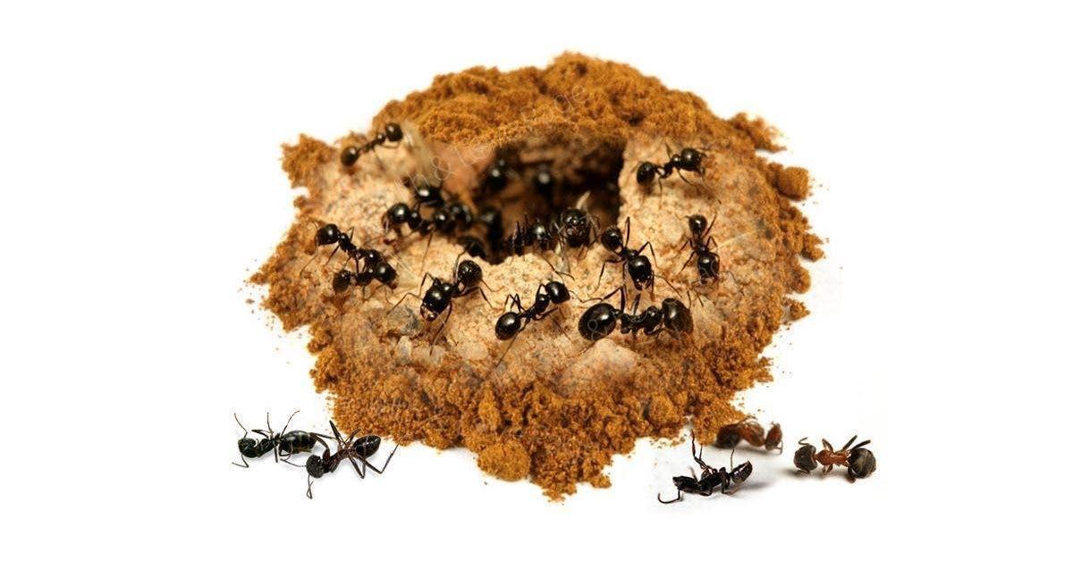 La cannelle vous aidera à vous débarrasser des fourmis pour toujours