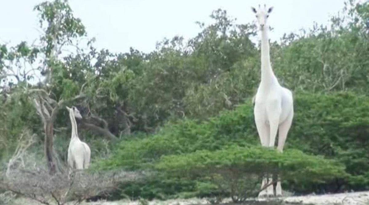La dernière girafe blanche du Kenya et son petit sont tués par des braconniers