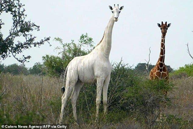 La dernière girafe blanche du Kenya
