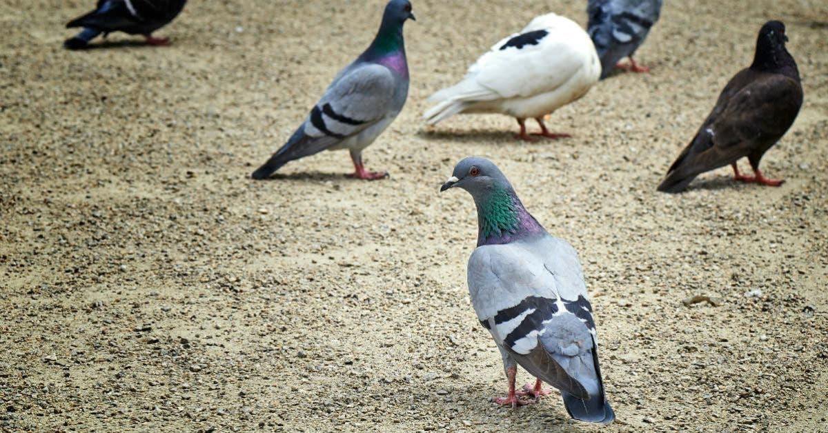 La maladie du pigeon peut s'attaquer à l'ensemble du système nerveux : Voici les symptômes et le traitement