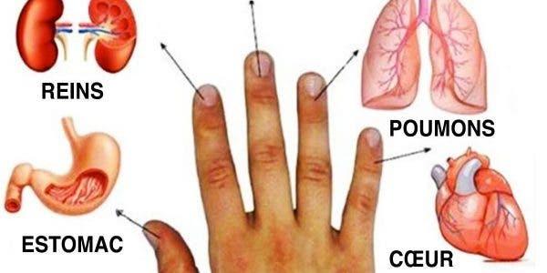 Les doigts sont connectés aux organes
