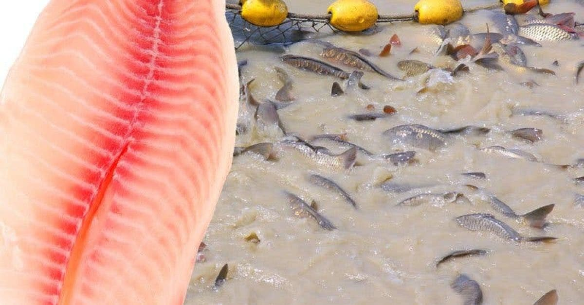 voici les raisons pour lesquelles les experts de la santé recommandent de ne jamais consommer de tilapia