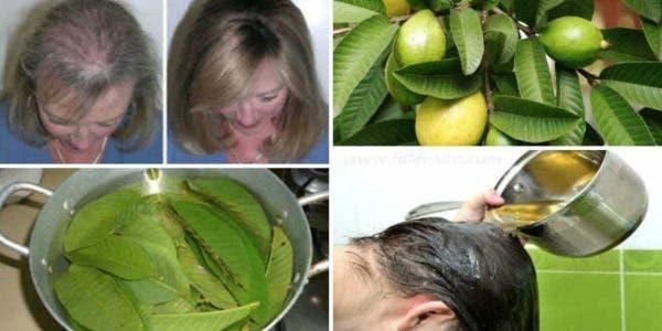 Les feuilles de goyave