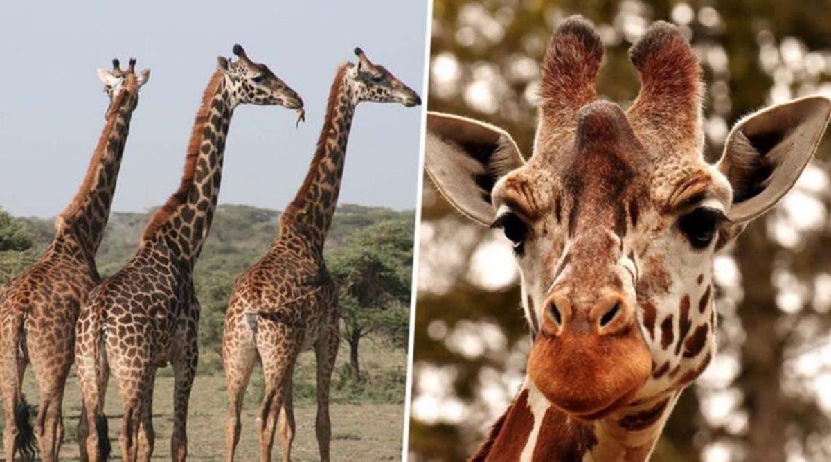 C'est une triste nouvelle. La girafe vient d'entrer dans la liste des animaux en voie d'extinction. Deux sous-espèces sont gravement menacées