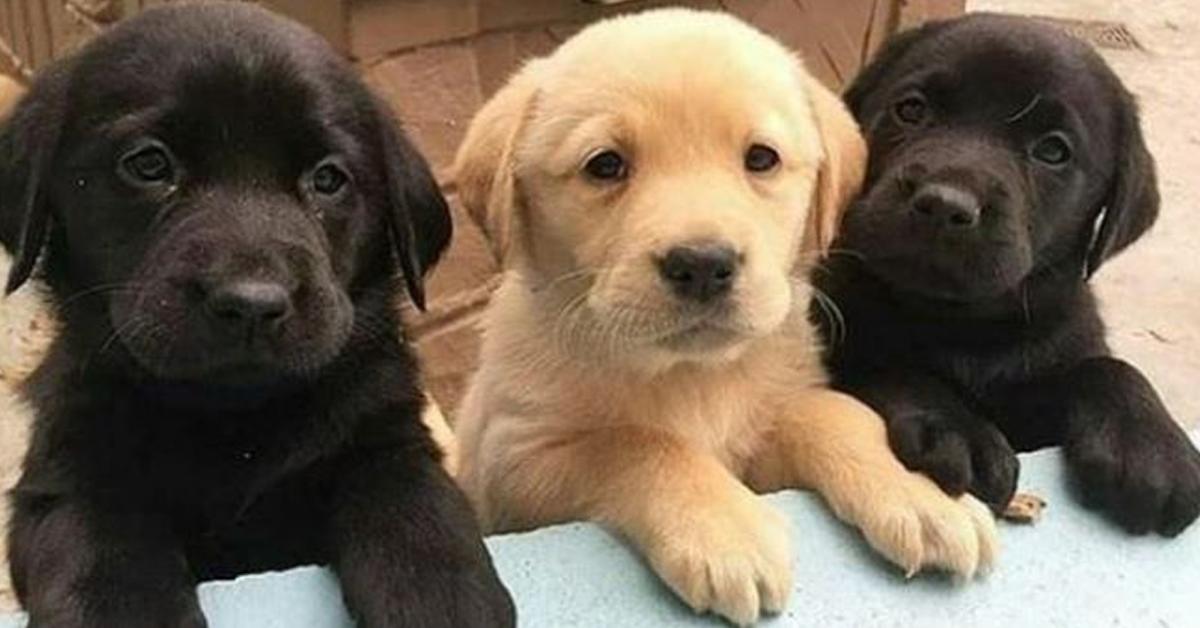 L'espérance de vie des chiens dépend de la couleur de leur fourrure