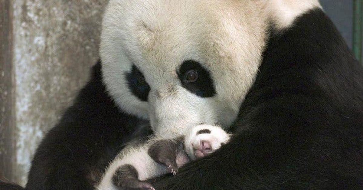 Mon cœur a fondu quand j'ai vu la réaction de cette maman Panda avec son bébé