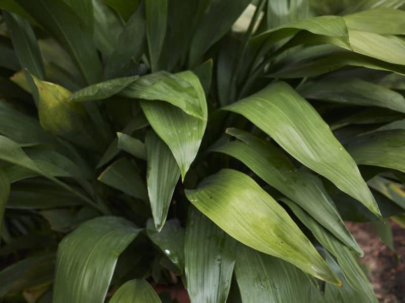 Plante fonte