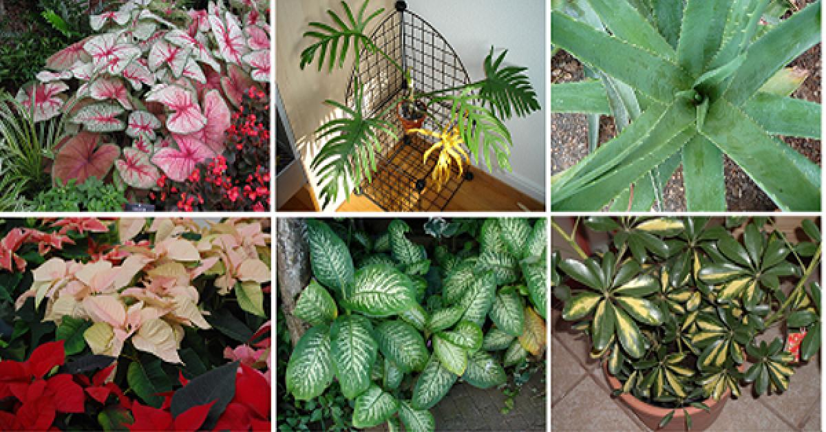 Top 10 des plantes mortelles que vous devriez retirer de votre maison immédiatement
