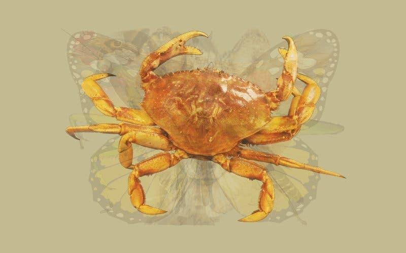 Un Crabe 1
