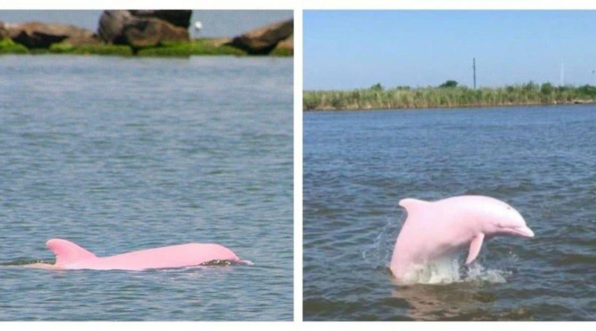 Un dauphin rose en voie d'extinction donne naissance à un bébé dauphin rose