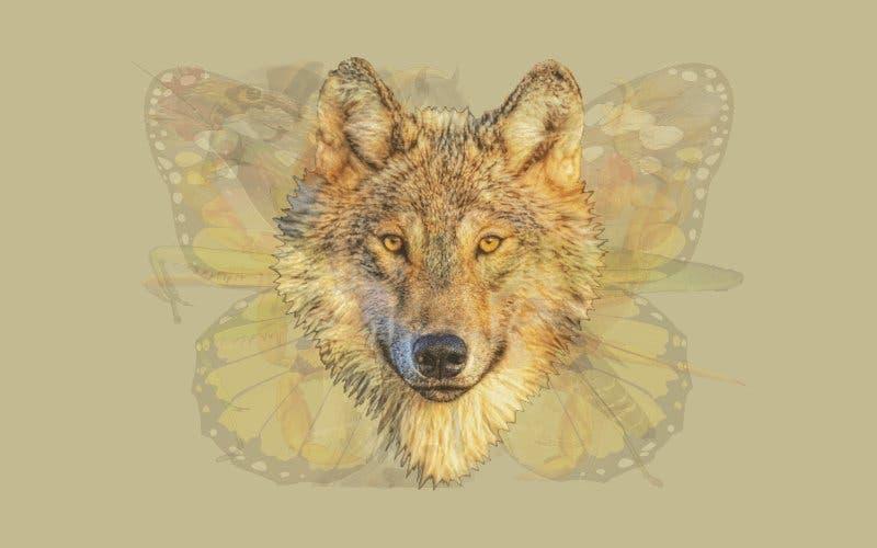Un loup 1