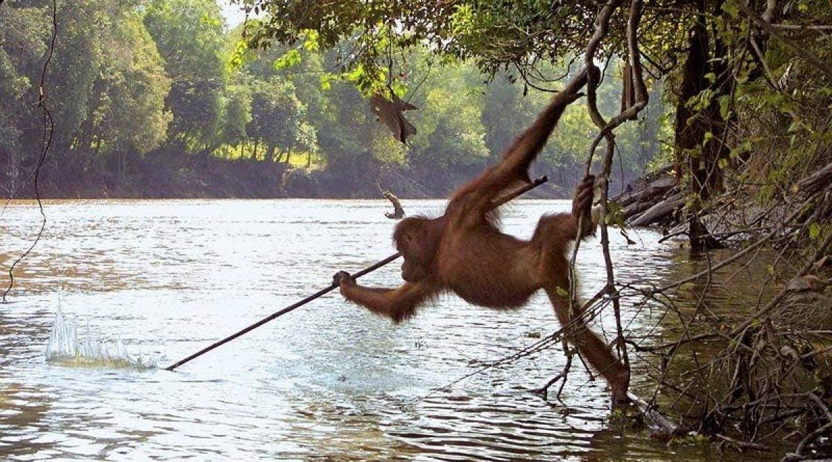 Un orang-outan photographié imitant les pêcheurs locaux en utilisant une lance pour attraper du poisson