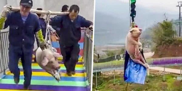 Un parc de jeux oblige un cochon hurlant à sauter 70 mètre dans le vide en élastique