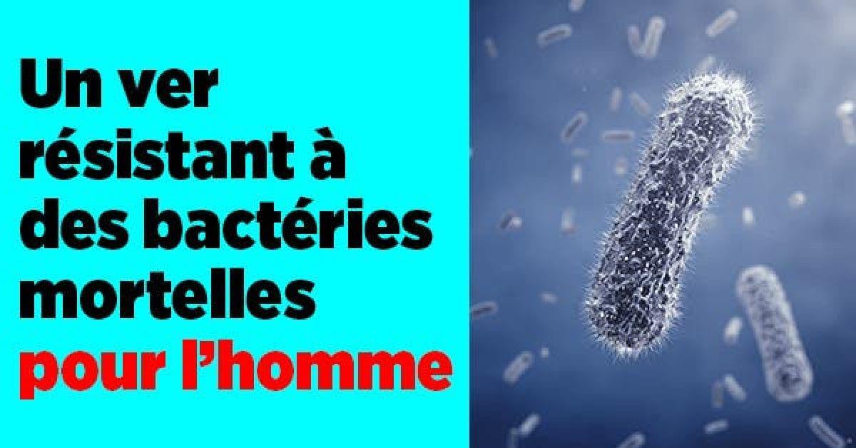 Un ver resistant a bacteries mortelles pour lhomme11