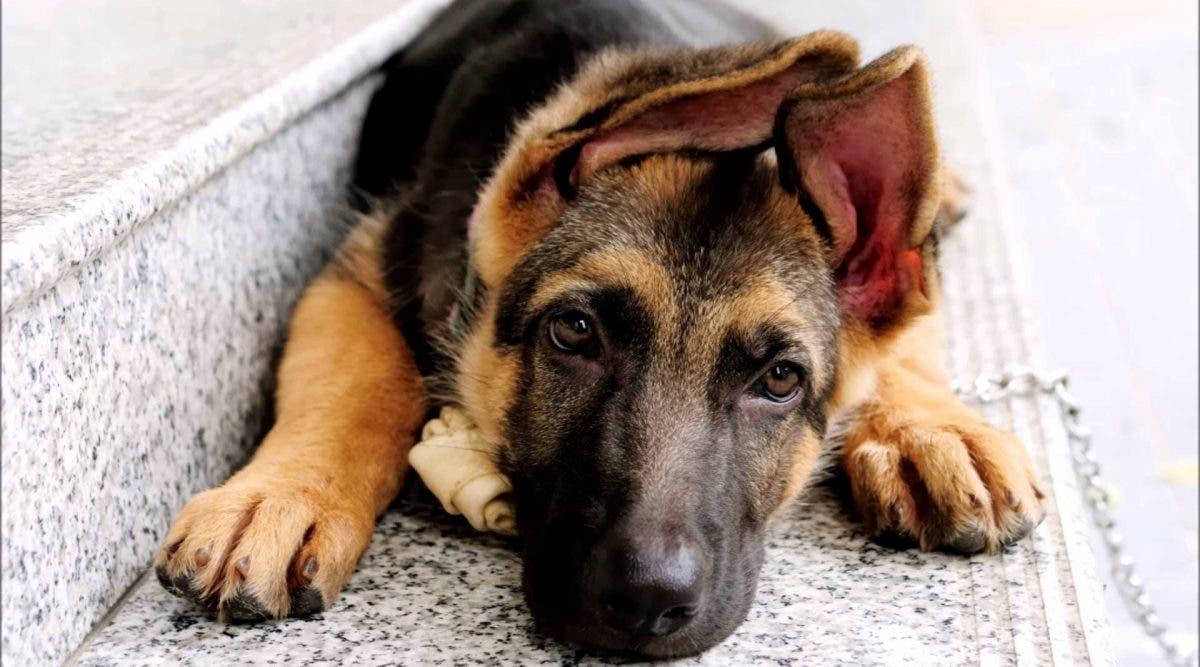 Un vétérinaire alerte contre une nouvelle infection qui se répand chez les chiens et les humains