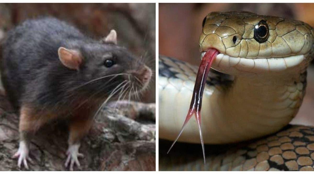 serpent rat sani-valentin
