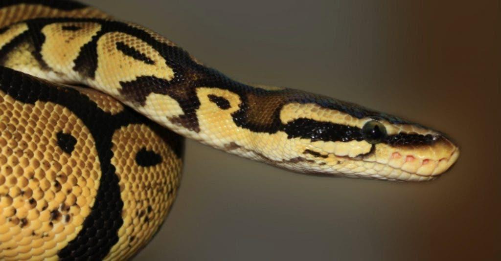 Un Zoo Propose De Renommer Un Rat Par Le Nom De Votre Ex Et Le Donner A Manger A Un Serpent Le Jour De La Saint Valentin