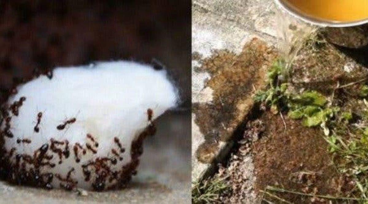 Faire Fuir Les Fourmis une astuce simple pour se débarrasser des fourmis à la maison