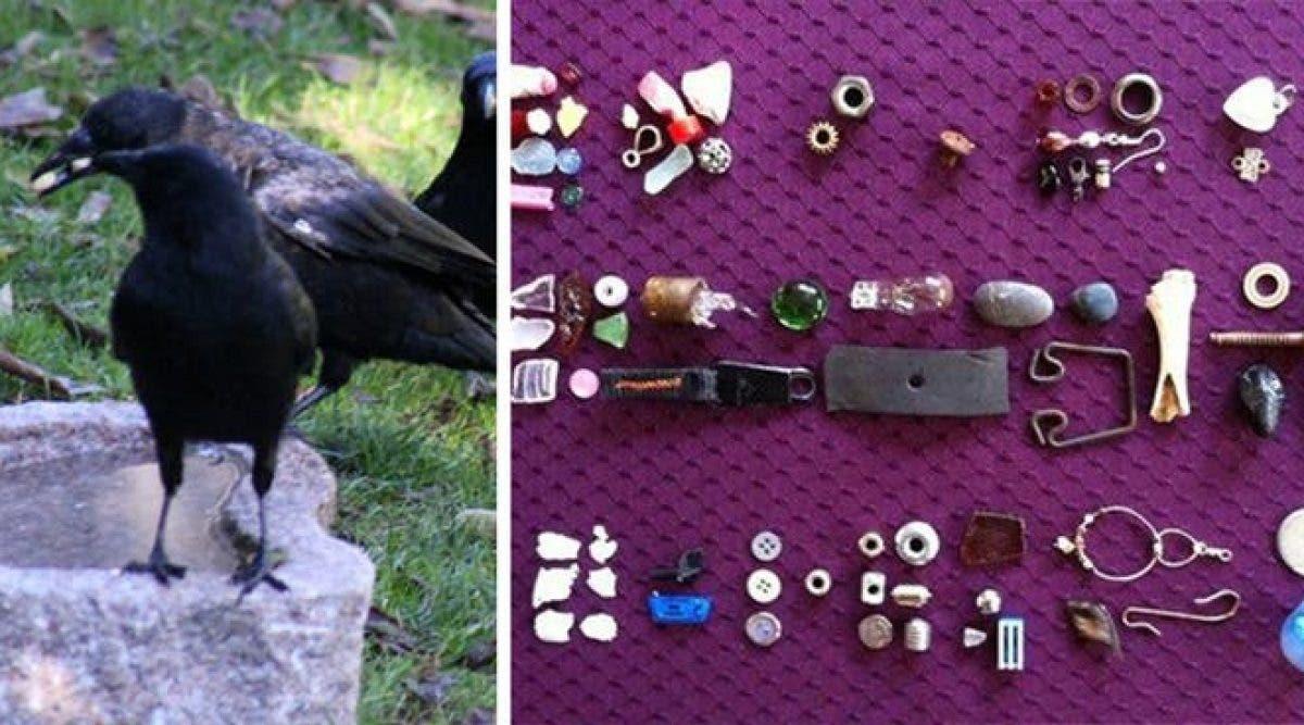 Une fille de 8 ans reçoit des cadeaux de la part de corbeaux qu'elle nourrit depuis 4 ans