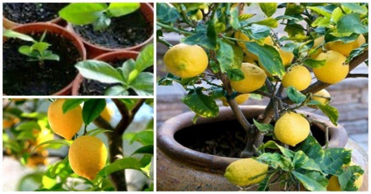 Voici comment faire pousser des citrons en illimité chez vous en utilisant une graine